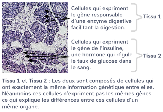 origine spécialisation cellulaire expression ADN
