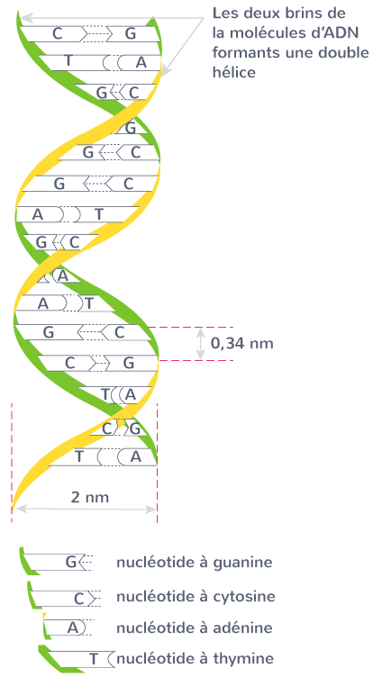 molécule ADN nucléotides
