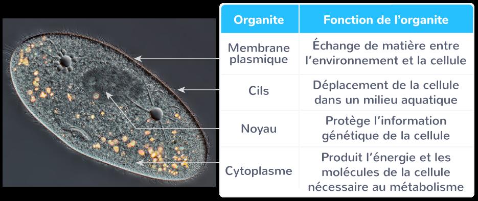 fonctionnement cellule organisme unicellulaire