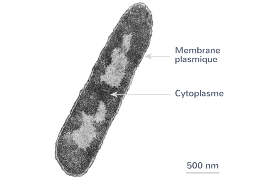 exemple cellule membrane plasmique cytoplasme