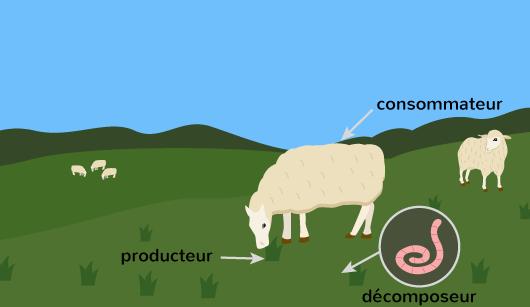 consommateur producteur décomposeur