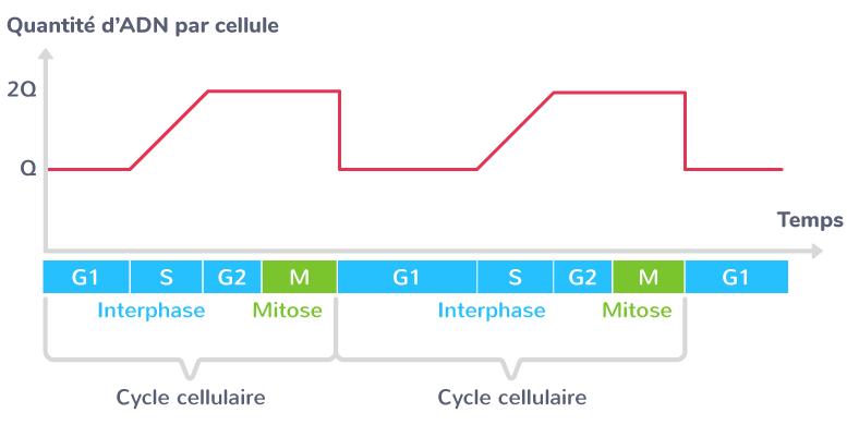 variation quantité ADN cycle cellulaire