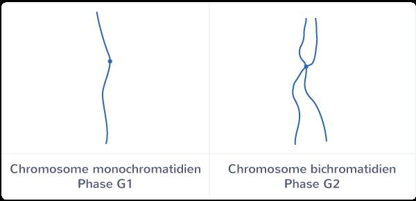 cycle cellulaire phase S réplication évolution quantité ADN