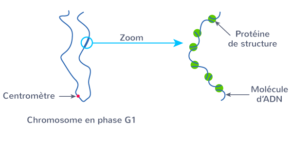 interphase ADN forme relâchée