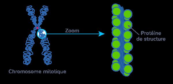 mitose molécule ADN compacte chromosomes visibles microscope optique