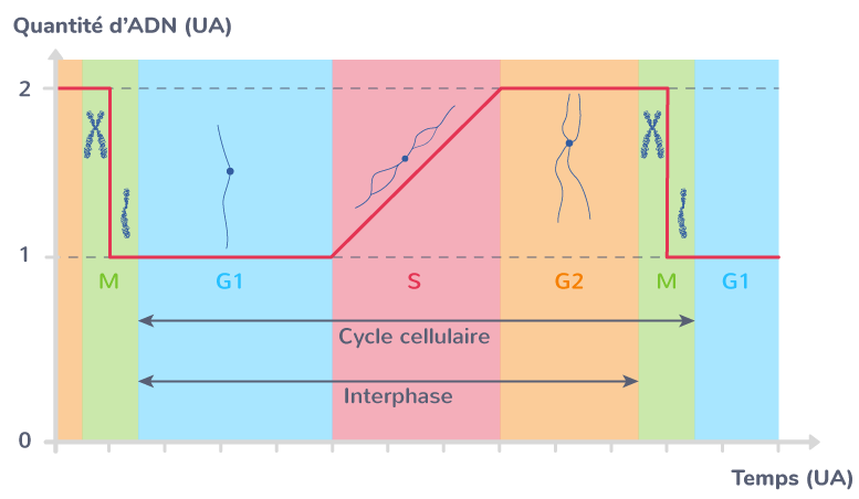 forme chromosomes cycle cellulaire