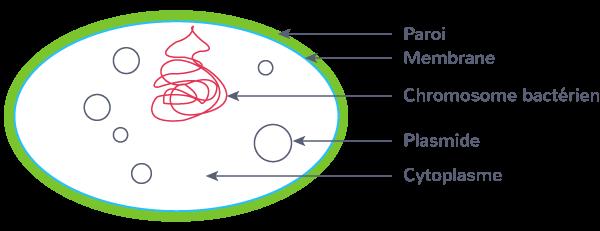 définition bactérie