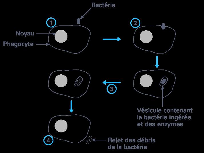 définition phagocytose