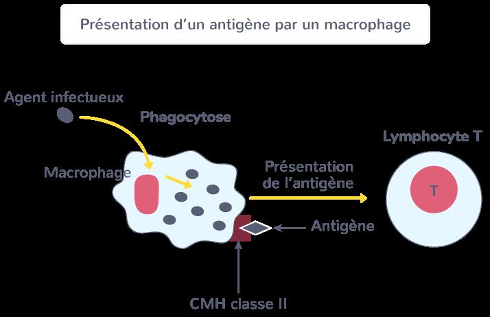 cellules présentatrices d'antigènes CPA