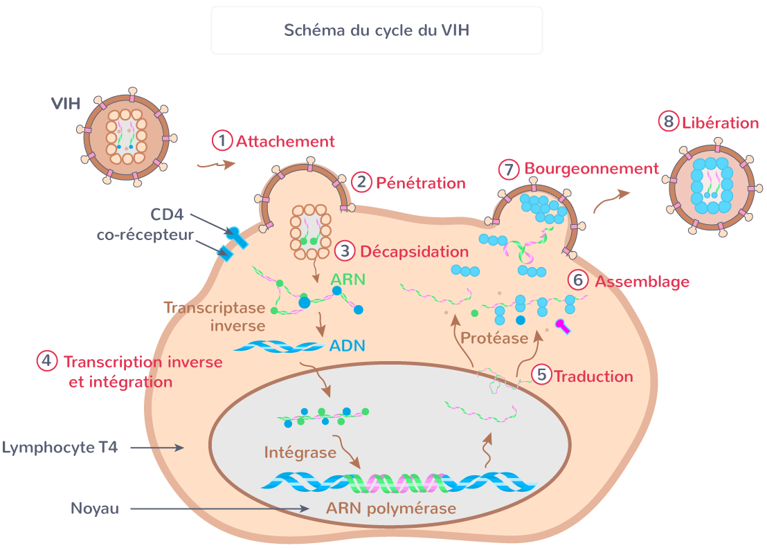 cycle VIH sida