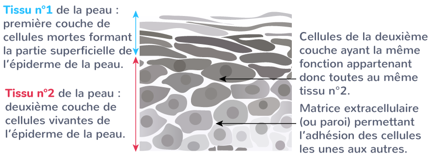 organe partie organisme tissus fonctions