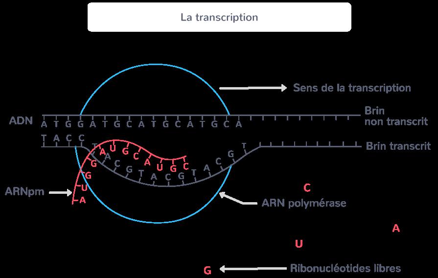 transcription première étape expression gène