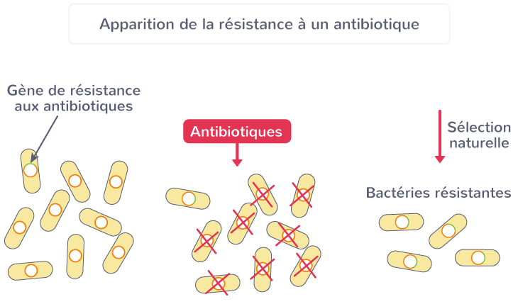 antibiorésistance bactéries
