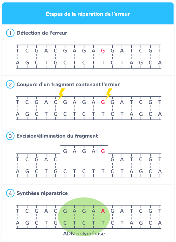 réparation ADN enzymes