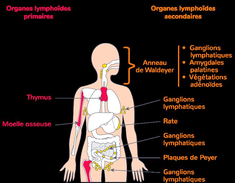 organes immunité organes lymphoïdes
