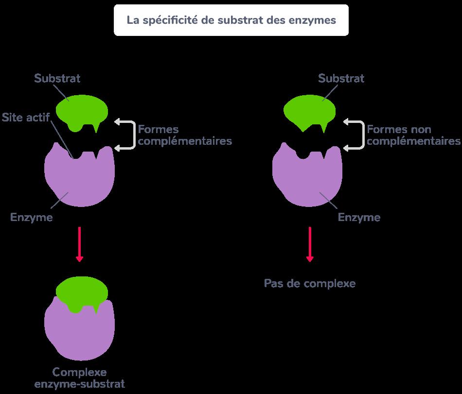 spécificité substrat enzymes
