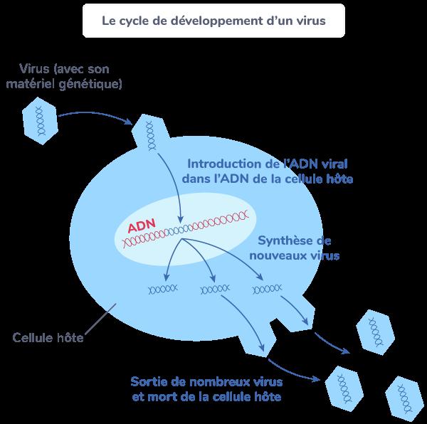 cycle développement virus