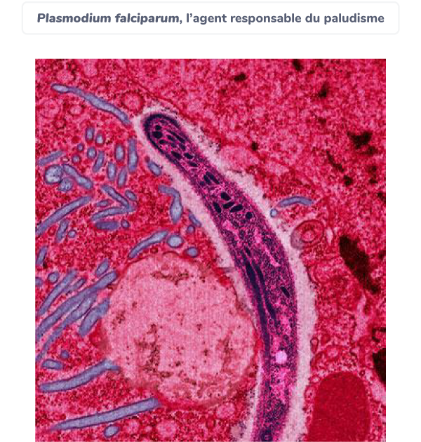 eucaryotes agents pathogènes paludisme