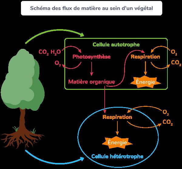 flux matière végétal chlorophyllien