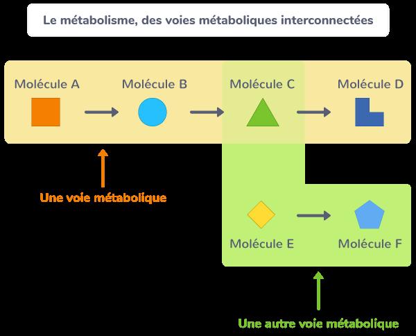 métabolisme enzyme transformations biochimiques