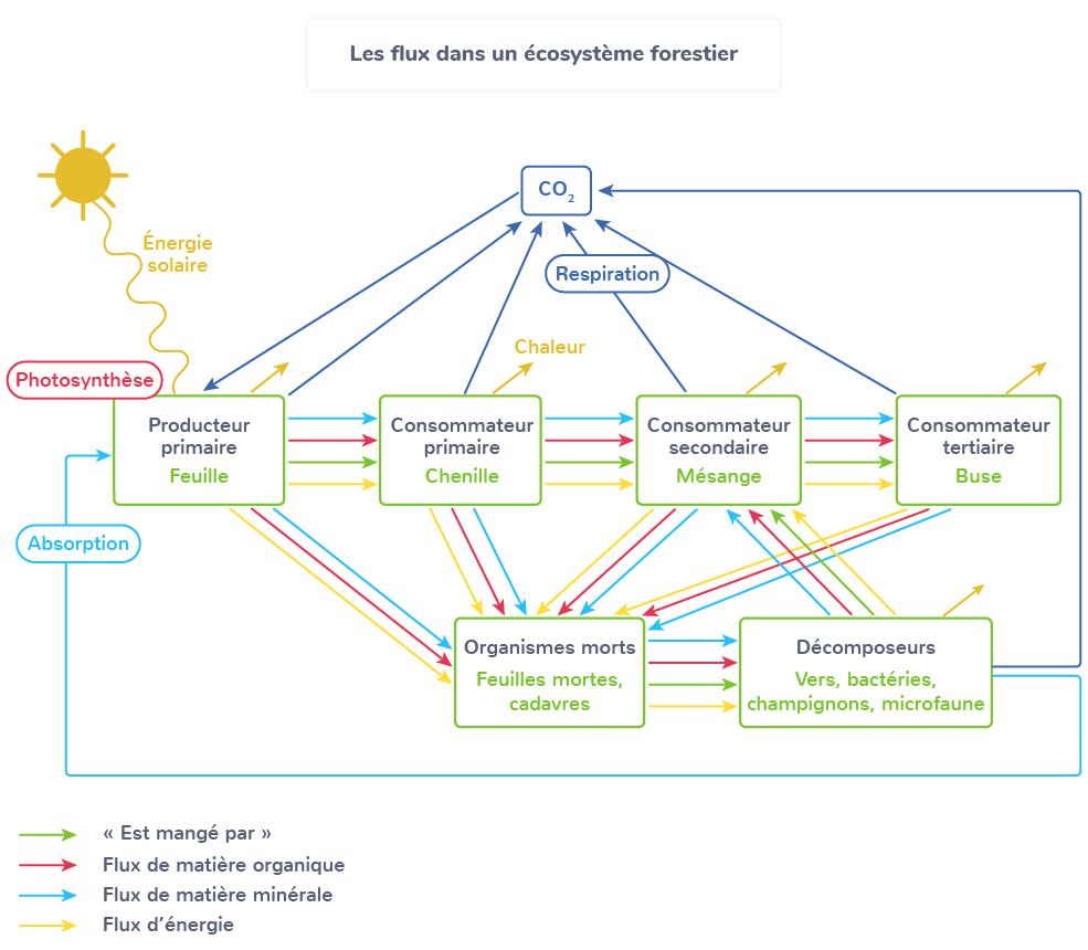 flux matière énergie au sein écosystème