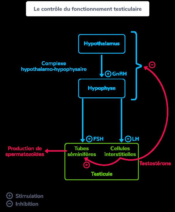 Schéma du fonctionnement hormonal des testicules