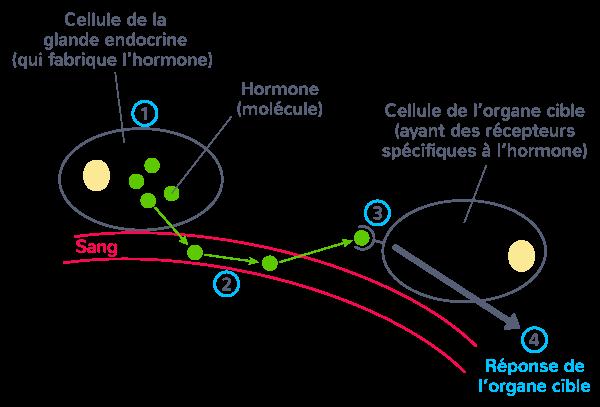 définition hormone molécule produite organe endocrine