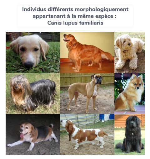Individus différents morphologiquement appartenant à la même espèce : Canis lupus familiaris