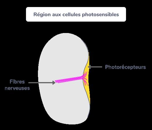 Région aux cellules photosensibles