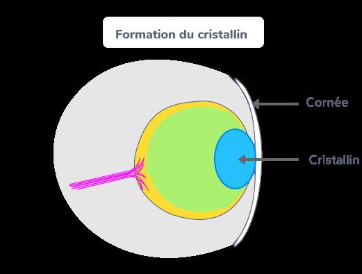 Formation du cristallin