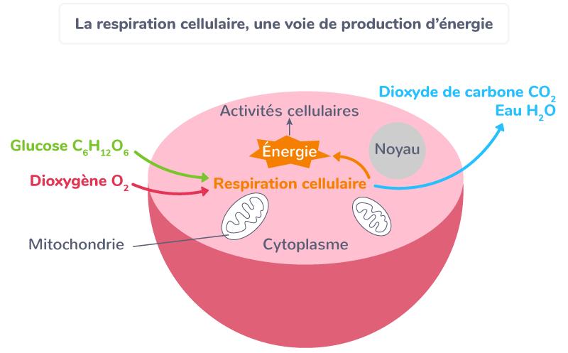 besoin cellules énergie respiration cellulaire