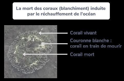 La mort des coraux (blanchiment) induite par le réchauffement de l'océan