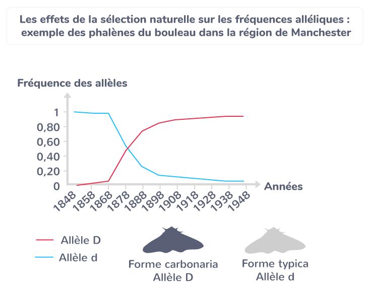 Les effets de la sélection naturelle sur les fréquences alléliques : exemple des phalènes du bouleau dans la région de Manchester.