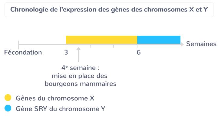 Chronologie de l'expression des gènes des chromosomes X et Y