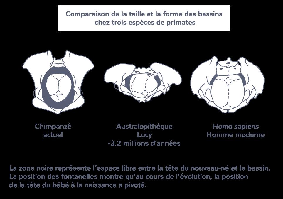 Comparaison de la taille et la forme des bassins chez trois espèces de Primates