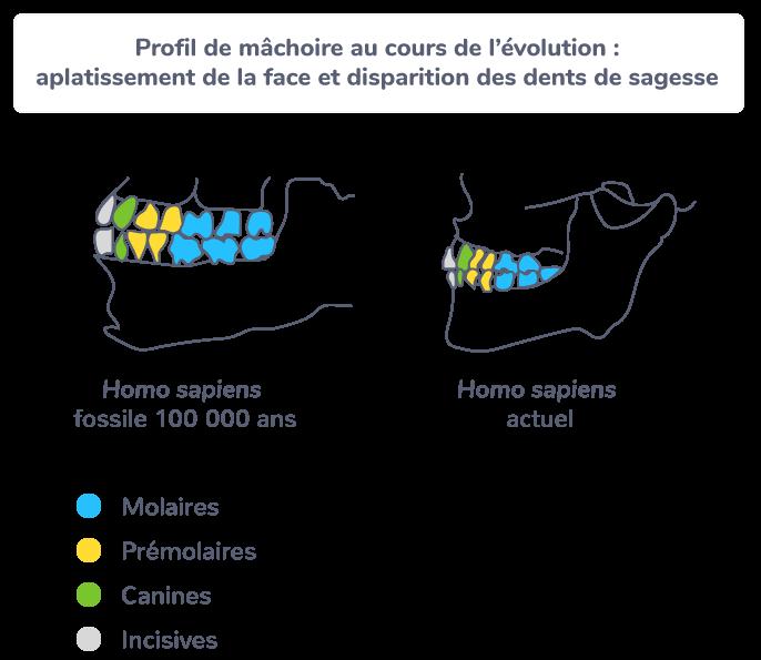 Profil de mâchoires au cours de l'évolution : aplatissement de la face et disparition des dents de sagesse