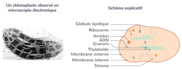 chloroplaste microscope plante matière organique