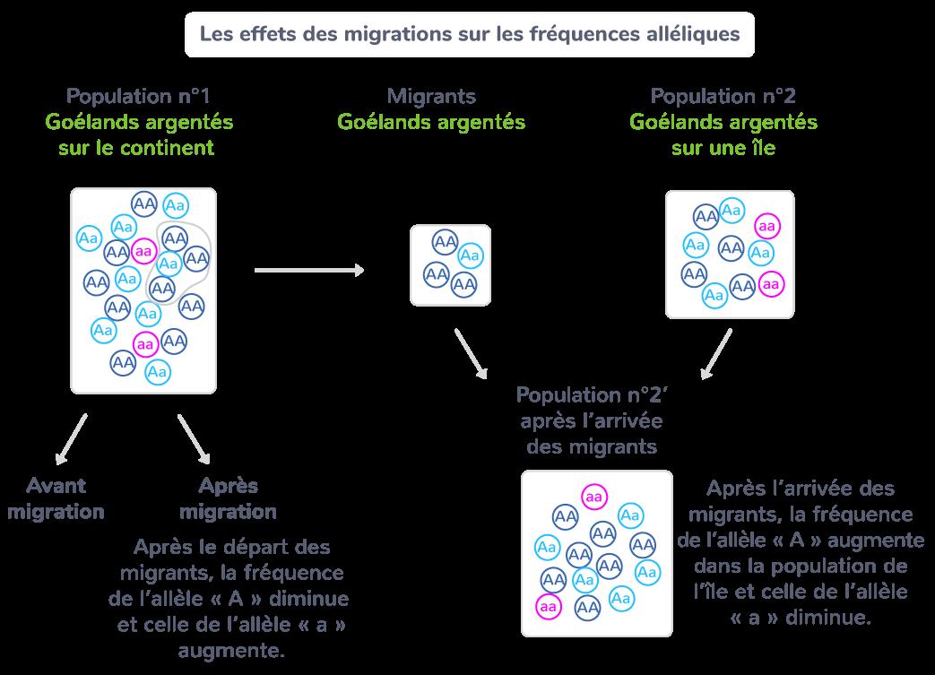 Les effets des migrations sur les fréquences alléliques