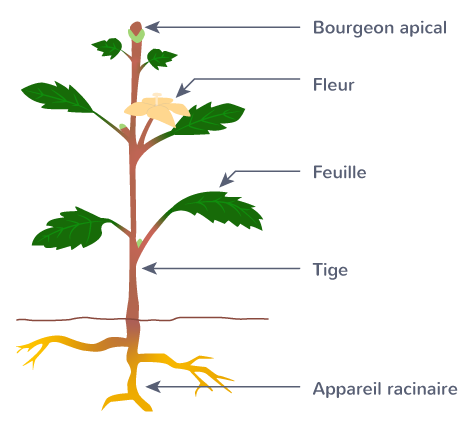 organisation fonctionnelle plantes plante angiosperme