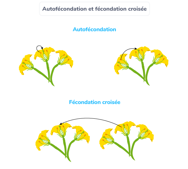 plante autofécondation fécondation croisée