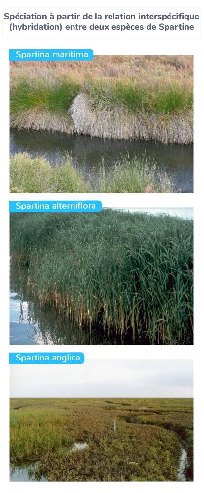 Spéciation à partir de la relation interspécifique (hybridation) entre deux espèces de Spartine