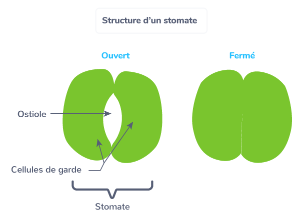 structure stomate organe constitué deux cellules