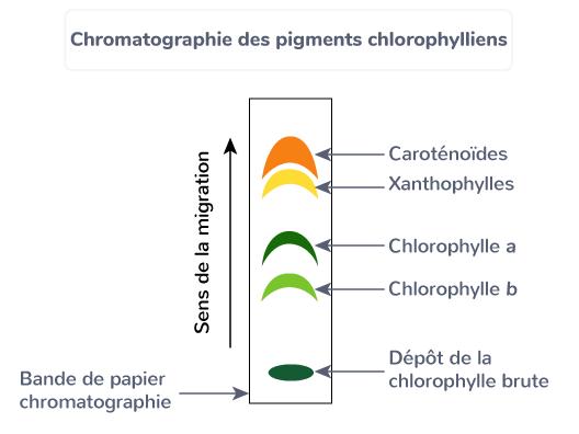chromatographie pigments chlorophylliens plante