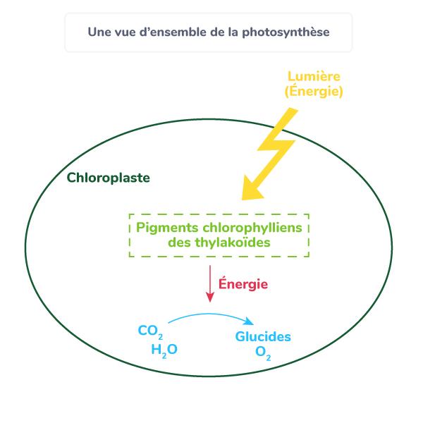 bilan fonctionnel vue d'ensemble photosynthèse