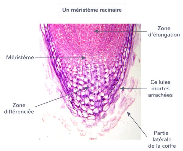croissance végétale multiplication cellulaire