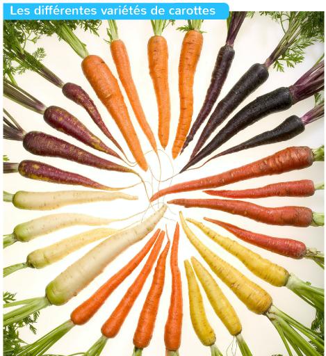 Les différentes variétés de carottes