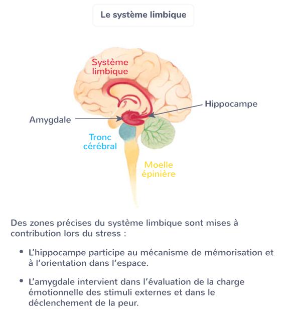 comportement stress système limbique