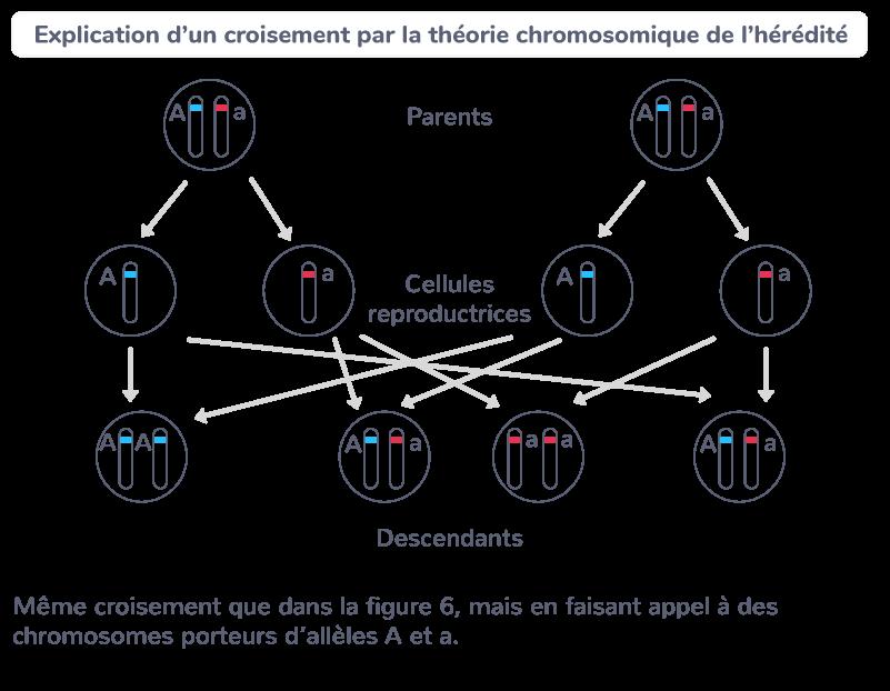 chromosomes gènes génotypes individus