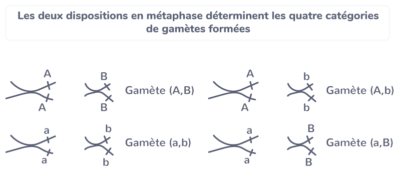 brassage interchromosomique génotypes
