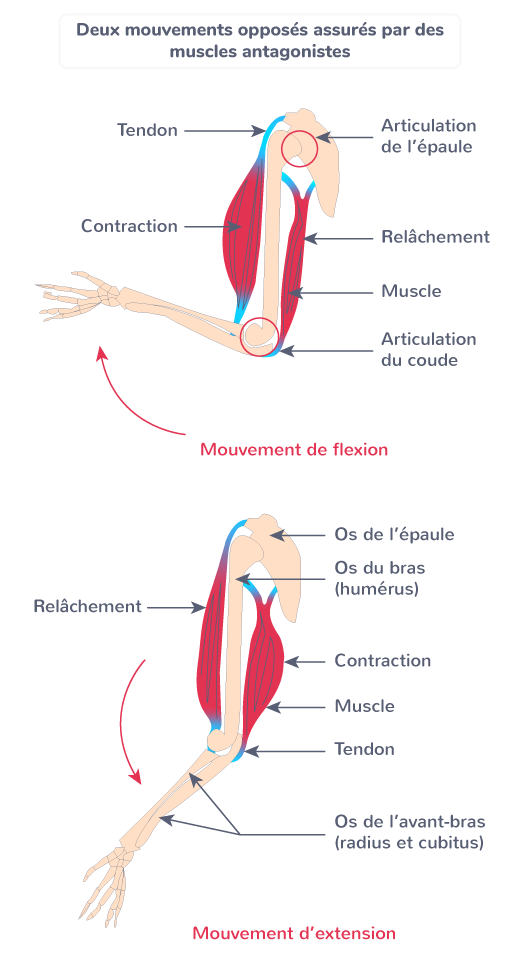 muscles antagonistes mouvements opposés